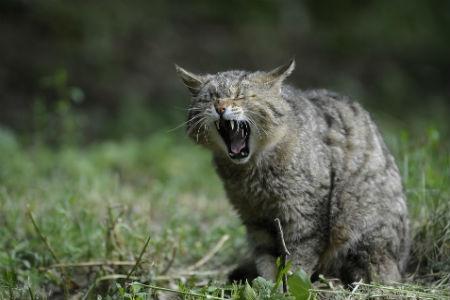 Características del gato montés