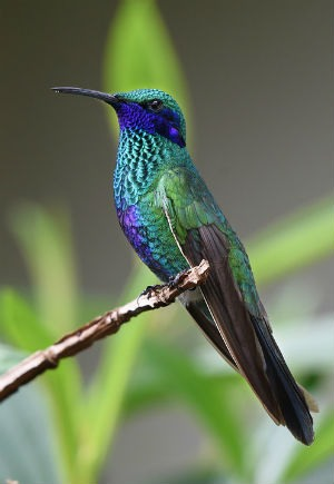 Curiosidades y rarezas del colibrí