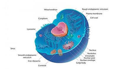 Célula eucariota: definición, tipos, funciones y estructura