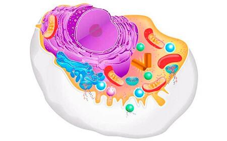 Qué es una célula animal: conoce su estructura, funciones y características