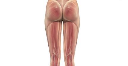 músculos de los muslos